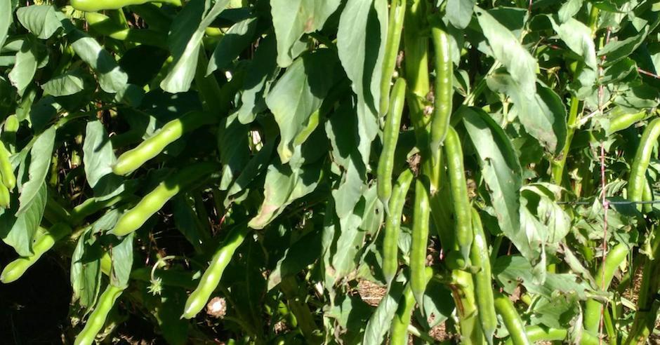 Salad Ways Broad Beans blog