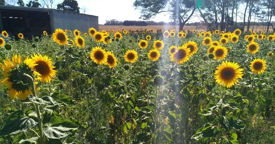 Salad Ways Sunflower field